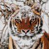 Сибирский тигр 41-2695-НС (2018) сетка