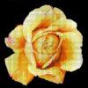 №52 Желтая роза 29-2116-НЖ (2011-03) сетка